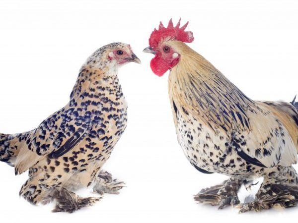Пилета Bentamki - декоративни домашни птици