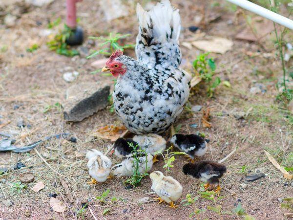 Средната степен на снасяне на яйца при пилета Bentamok обикновено е около 100 яйца годишно.