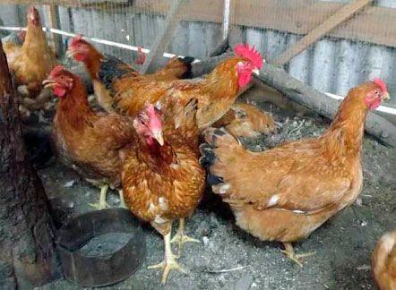 Унгарски гигантски кокошки