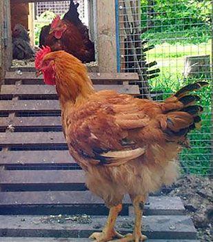 Разходката за кокошки носачки е от решаващо значение