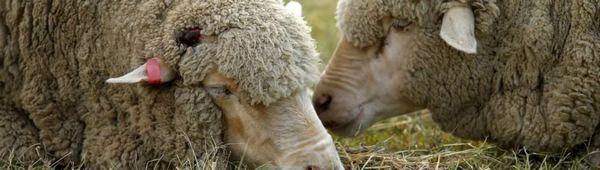 Лечение на глисти при овце: лекарства, откриване, лечение