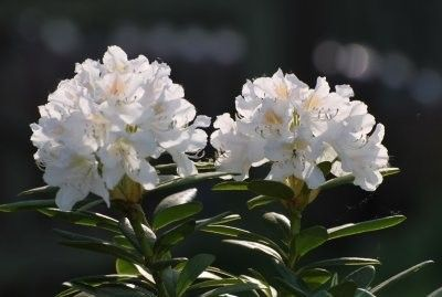 Третиран кавказки рододендрон: свойства, противопоказания и снимки с изключителна красота