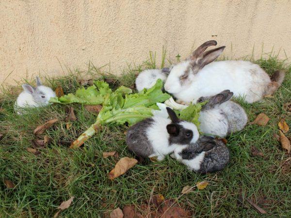 Заешки листа в заешката диета
