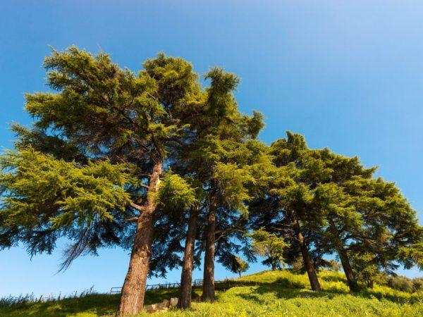 Ливански кедър - мощно растение