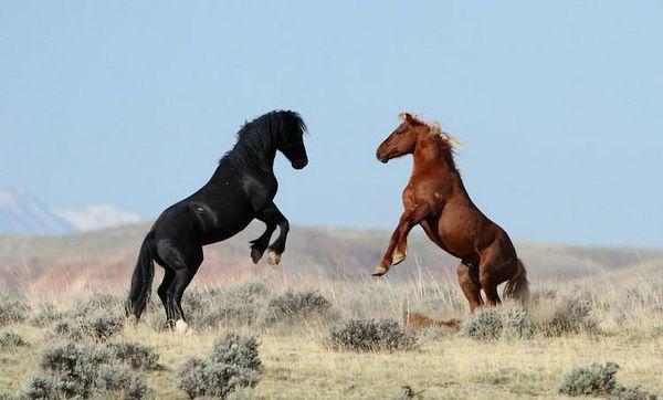 Mustangský kôň