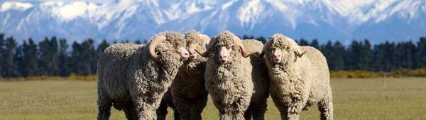 Мериносови овце: достойнство на породата, отглеждане, стойност на вълната