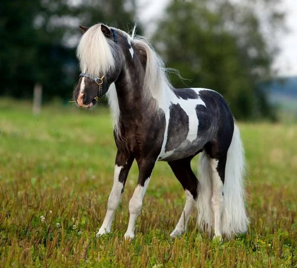 Mini kôň