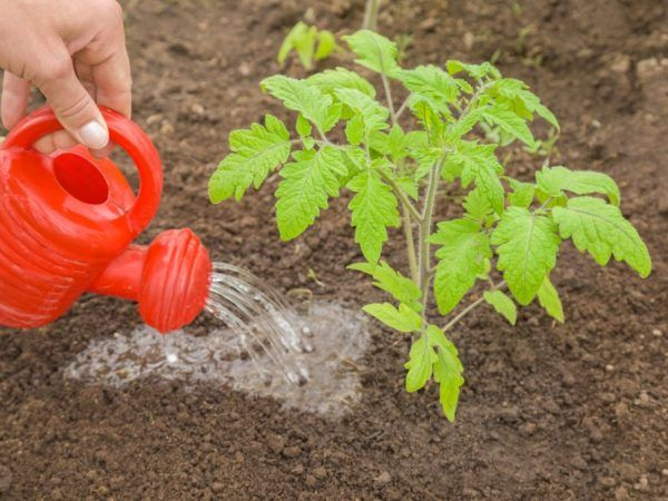 Урея за хранене на домати