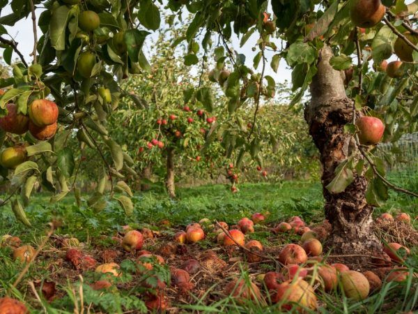 Моніліоз яблуні - як захистити плодову культуру