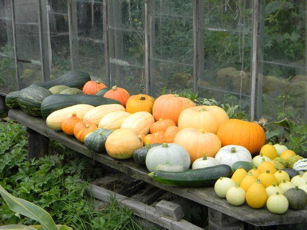 Чи можна садити разом гарбуз і кабачки