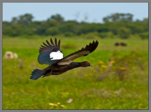 Муска патица: снимка, описание на породата, инкубация
