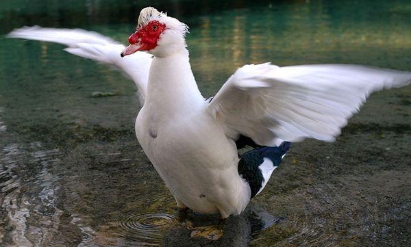 Мускати патици: отглеждане на коренни в домашни условия