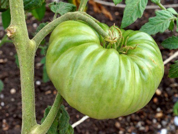 Незвичайний томат чорний бізон