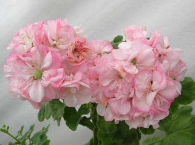 Нежно розова красота - pelargonium pink: описание на сортовете със снимка, размножаване, засаждане, грижи и болести