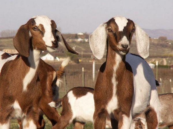 Нубийска коза