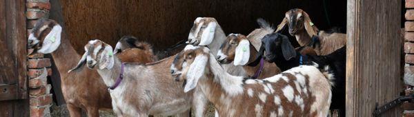 Нубийски кози: описание на породата, грижи и поддръжка