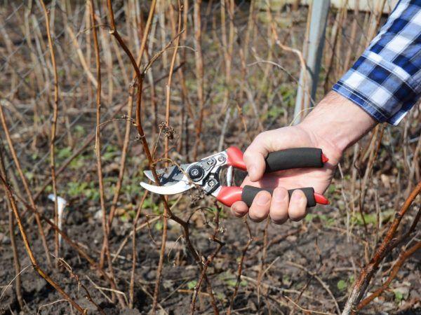 Обрізаємо ремонтантну малину восени - мета процедури і технологія