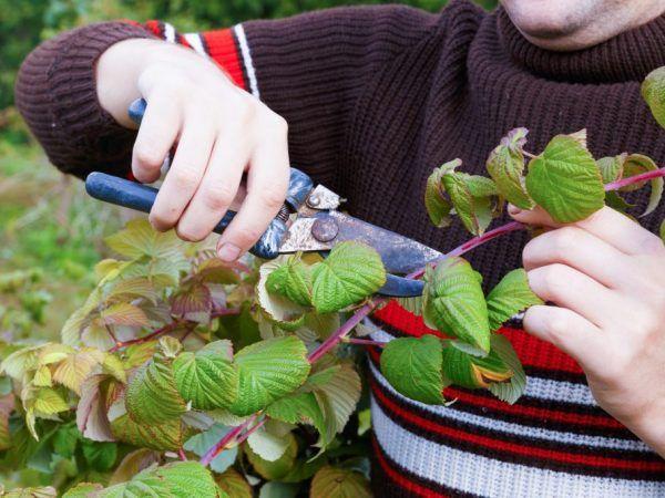На Уралі малину починають готувати до зими у вересні