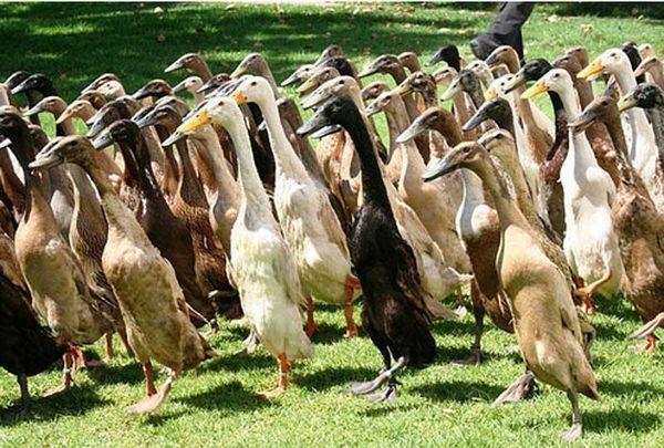 Преглед на породата патици индийски бегач