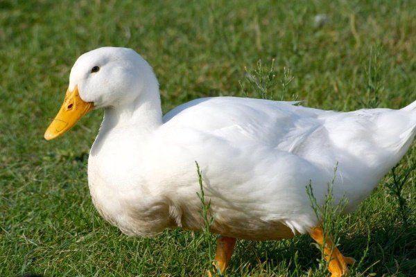 Описание и основни характеристики на башкирската патица