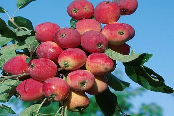 плоди яблук
