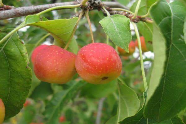 гарні плоди