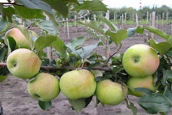 Опис і характеристики яблуні сорту Бессемянка мічурінська, регіони поширення та відгуки садівників