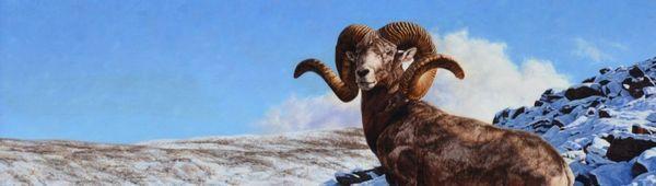 Описание, оцветяване, особености на поведение на планинските овце на алтай