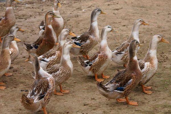 Описание на породата башкирска патица