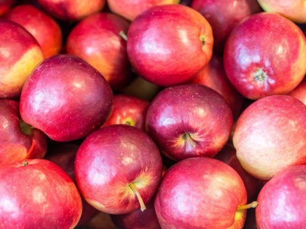 Опис, посадка і догляд за яблунею моди