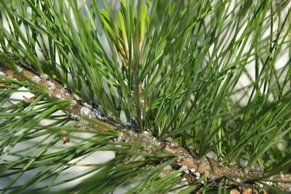 vetva cédrového dreva