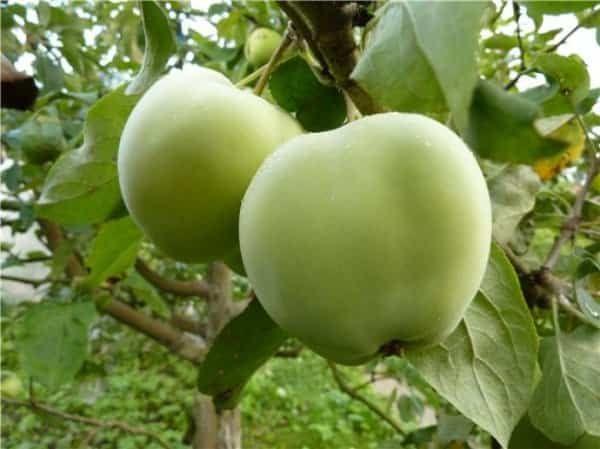 плоди на дереві