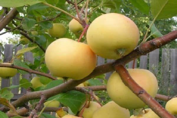 odroda jabĺk