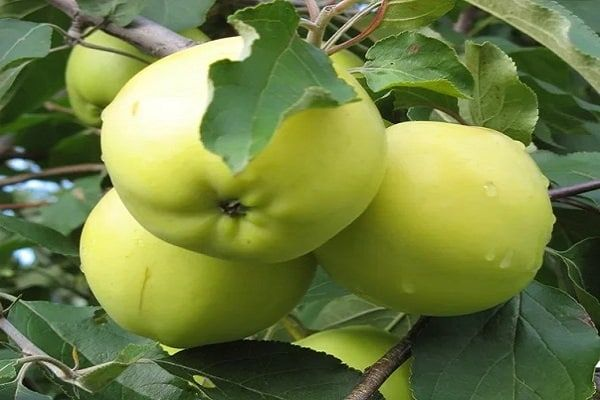 jablone