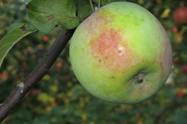 ovocná kultúra