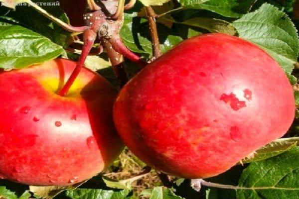 се образуват плодовете