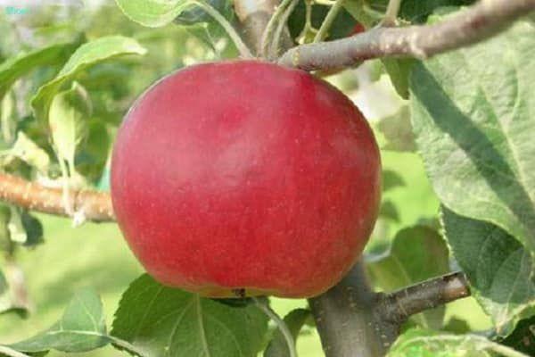 Описание на разнообразието от ябълкови дървета от червен пет, предимства и недостатъци, благоприятни региони за отглеждане