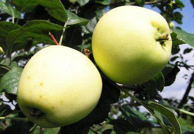 Описание на летния сорт златна ябълка: засаждане, грижи, болести и вредители