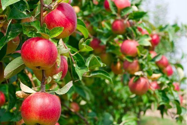 koberec jabloň