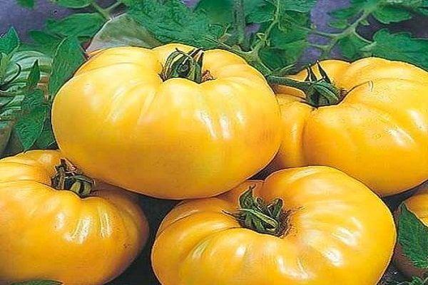 Опис сорту томату бізон жовтий, його характеристика та вирощування