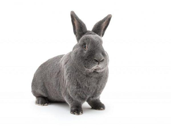 Описание на виенски син заек