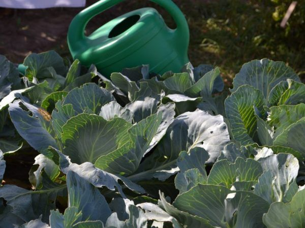 Roztok sa môže použiť na zalievanie rastlín