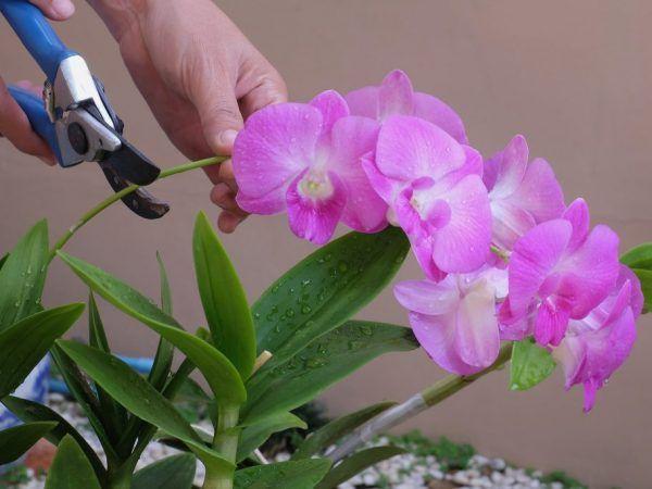 Orchid phalaenopsis mucalla - въплъщение на красотата