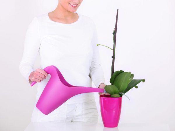 Orchid zafír - thajský kvet s nezvyčajnou farbou lístkov
