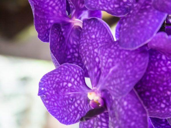 Орхидея ванда - мрачна красота