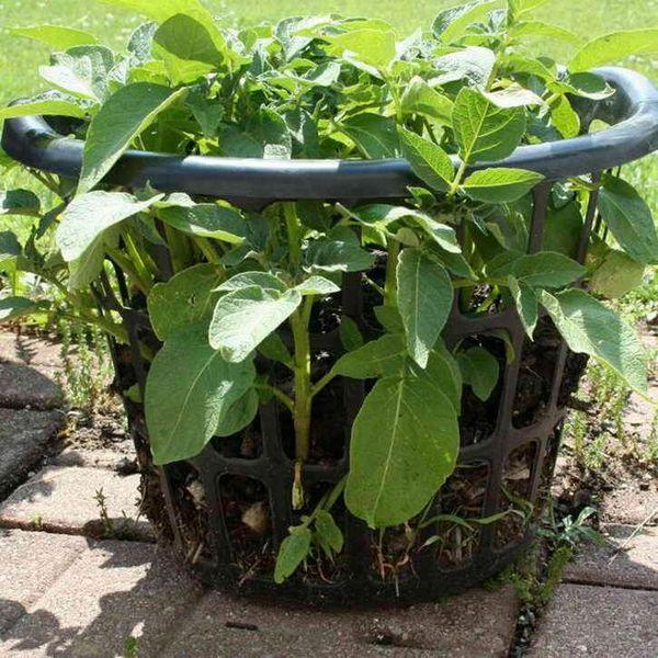Оригинален и плодотворен начин за отглеждане на картофи
