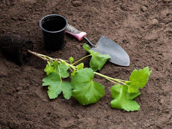 Jesenné pestovanie ríbezlí - hlavné fázy