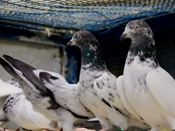 Пакистански гълъби