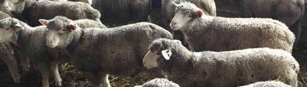 Характеристики на породата овце ил дьо франс: описание, особености на развъждането