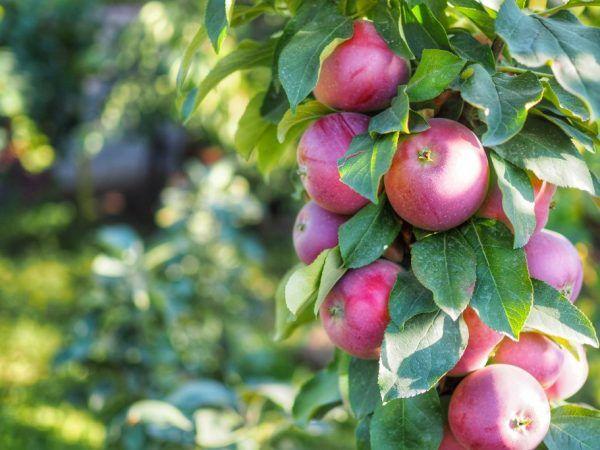 Характеристики на разнообразието от ябълково дърво във формата на дебело черво
